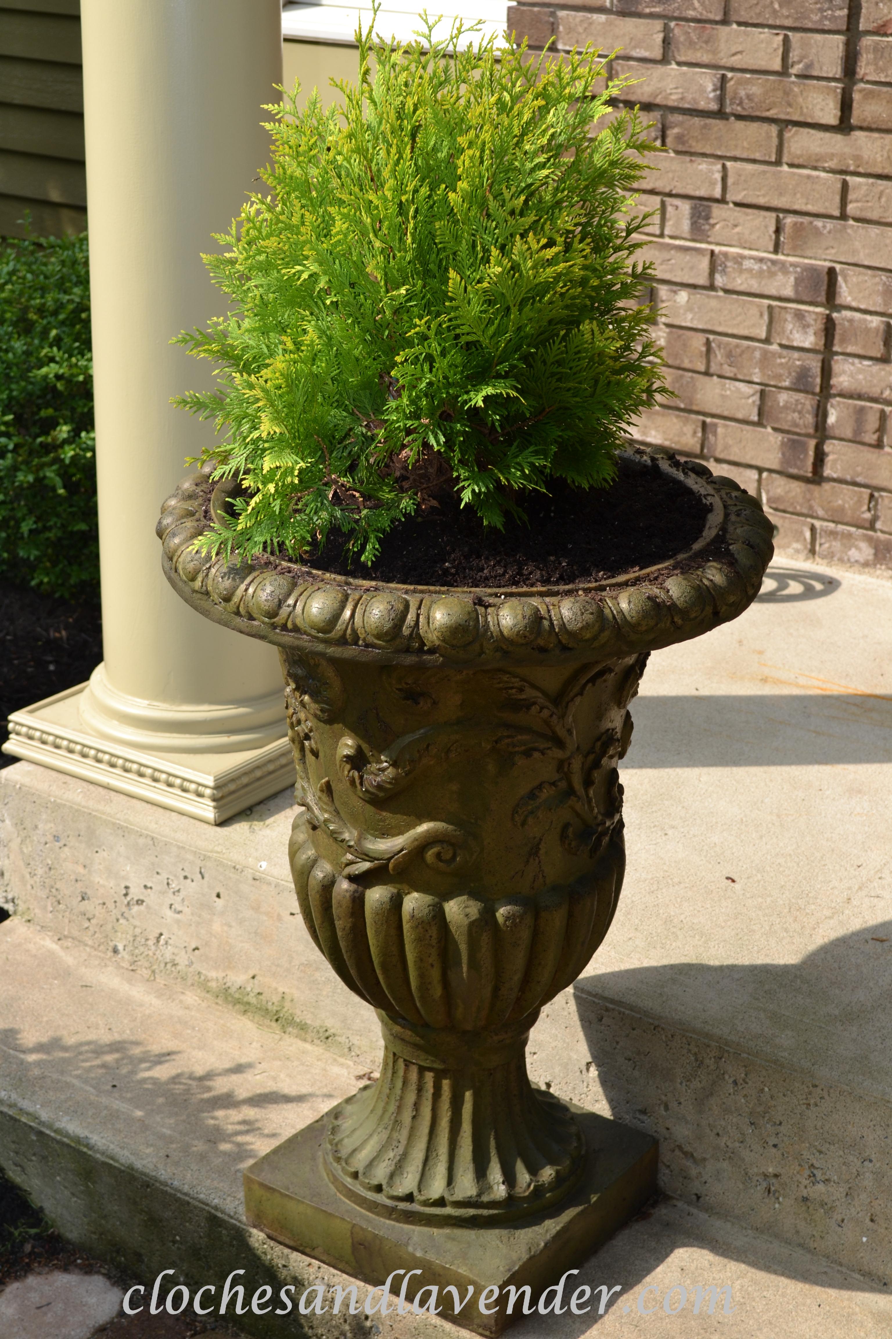 Front entry urns cloches lavender new urn with cedar bush rubansaba